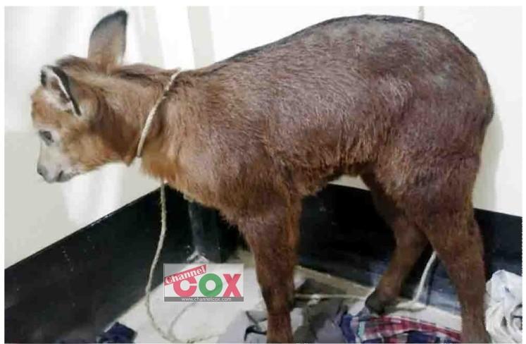 মাতামুহুরী রেঞ্জ থেকে উদ্ধার বিরল প্রজাতির বনছাগলটি এখন সাফারি পার্কে
