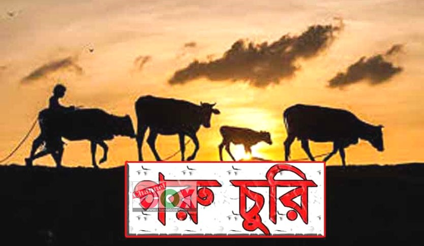 কক্সবাজারে গরু চোরের উপদ্রব : আতঙ্কে কৃষক