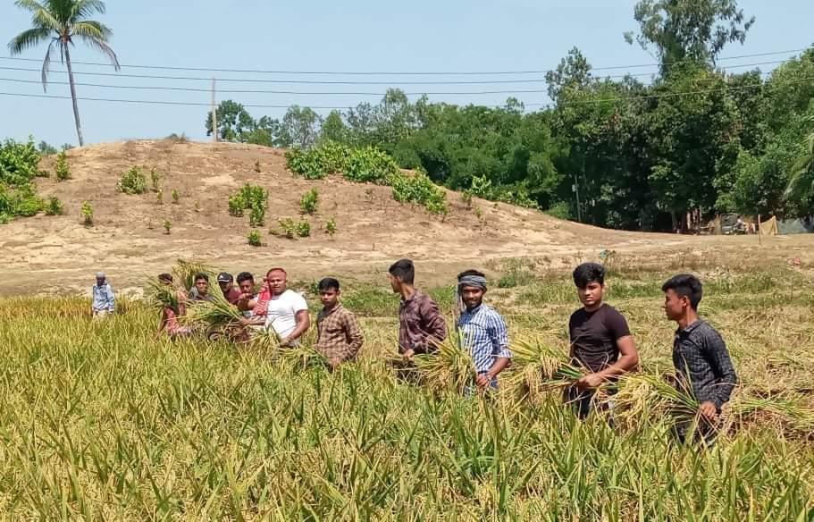 চকরিয়ায় দরিদ্র কৃষকের ধান কেটে দিল কাকারা ইউনিয়ন ছাত্রলীগ