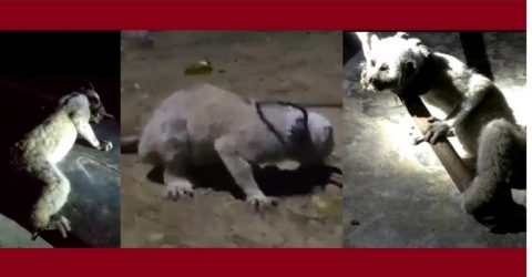 কক্সবাজারের রামুতে অতিবিপন্ন প্রাণী 'বেঙ্গল স্লো লরিস' উদ্ধার   সি কক্স নিউজ