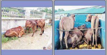 ৯ টি চোরাই গরু উদ্ধার করলো ঈদগাঁও পুলিশ, আটক ২ | ChannelCox.com
