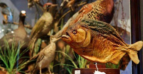 পিরানহা ও আফ্রিকান মাগুর: নিষিদ্ধ এই 'রাক্ষুসে' মাছগুলো কীভাবে আসছে বাংলাদেশে? ChannelCox.com